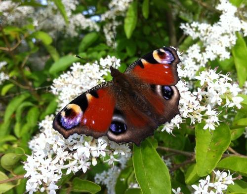 farfalla-Serena